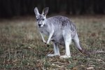 The Name of a Male Wallaby
