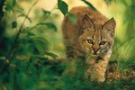 Major Characteristics of the American Bobcat