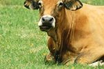 Dwarfism in Cattle