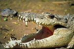American Crocodiles Eat What Types of Foods?