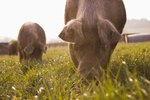 Can Pigs Graze on Grass?