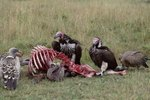 Do Vultures Have a Sense of Smell?