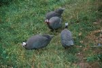 Noise From Guinea Hens