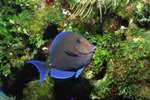 How to Care for Blue Hippo Tangs