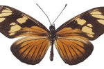 Facts on the Passion Vine Butterfly