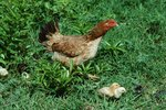 What to Do With a Hen That Won't Leave the Nest