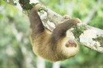 What Kind of Trees Do Sloths Live in?