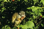 Common Squirrel Monkey Predators