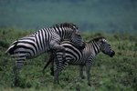 Do Zebras Have a Mating Ritual?