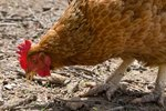 Do Laying Hens Have Wattles?