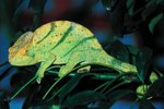 How to Calm a Chameleon if It Is Hissing?