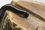 Why Do Millipedes Smell So Bad?