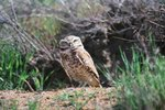 The Migration of Burrowing Owls