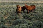 Facts on How Wild Horses Get Their Food
