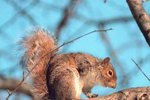 Nesting Habits of Gray Squirrels