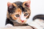 Calico Kittens Personality & Training