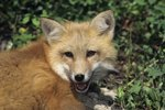 Why Does a Red Fox Scream?