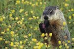 Differences Between Groundhogs & Gophers