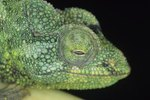 What Type of Fruit Do Chameleons Eat?