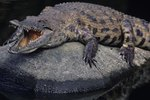How Are Crocodile Eggs Fertilized?