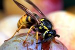 Characteristics of a Yellow Jacket Wasp