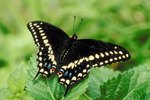 Stages of Black Swallowtail Butterfly Development