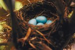 How to Take Care of Robin Eggs