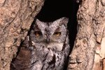Placing a Nesting Box for a Screech Owl