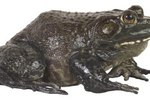 Poisonous Frog Species in South Africa