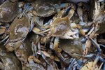 Life Cycle of the Maryland Blue Crab