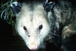 How Does the Opossum Drink Water?