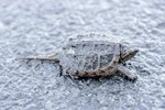 How to Protect Snapping Turtle Nests