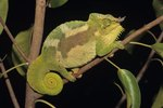 What Do Chameleons Sleep On?
