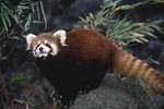 What Kind of Climate Does the Red Panda Live in?