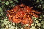 Science Facts on Giant King Crabs