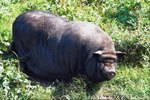 The Life Expectancy of a Vietnamese Potbellied Pig