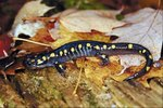 How to Tell if a Salamander Is Female or Male