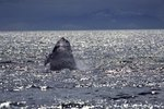 The Meaning of a Humpback Whale Breaching