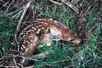 How to Help an Abandoned Fawn
