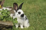 Temporary Relief of Breathing Problems in Rabbits