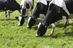 Signs & Symptoms of Overeating Disease in Cows