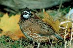 Differences Between a Male & a Female Bobwhite Quail