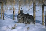 The Difference Between Cottontails & European Rabbits