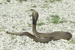 Adaptations of Cottonmouth Water Moccasins