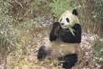 How Do Giant Pandas Get Their Food?