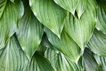 Are Hostas Poisonous to Dogs?