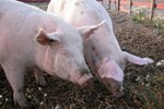 Vaccination Schedule for Pigs