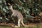 What Bushes Do Kangaroos Eat?