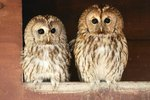 How Do Owls Show Affection?