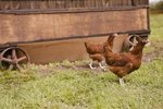 Types of Laying Hens